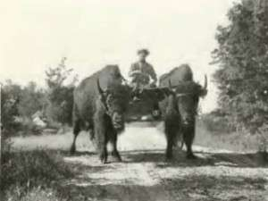 Two of Baynes' Tame Buffalo Pulling a Wagon