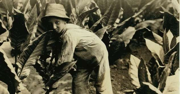 Child labor in Connecticut. Harvesting tobacco on a farm in Gildersleeve.