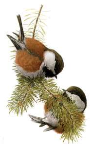 Illustration of a Chestnut-backed chickadee by Louis Agassiz Fuertes