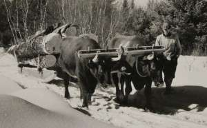 Oxen hauling salvage logs, Bridgton, Maine. National Archives.