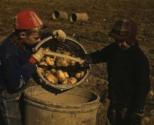 Children gathering potatoes on a large farm near Caribou.
