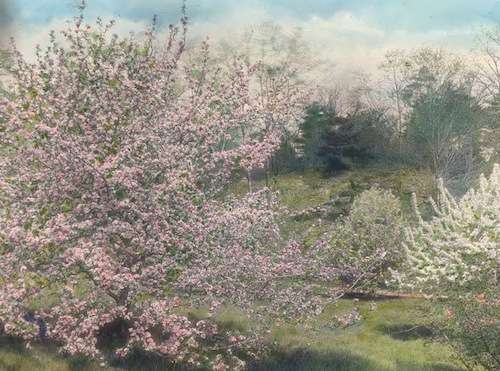 Flowering trees at Holm Lea. Photo courtesy Library of Congress, Frances Benjamin Johnston collection.