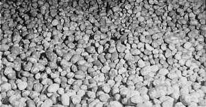 Seed potatoes. Photo courtesy Library of Congress.