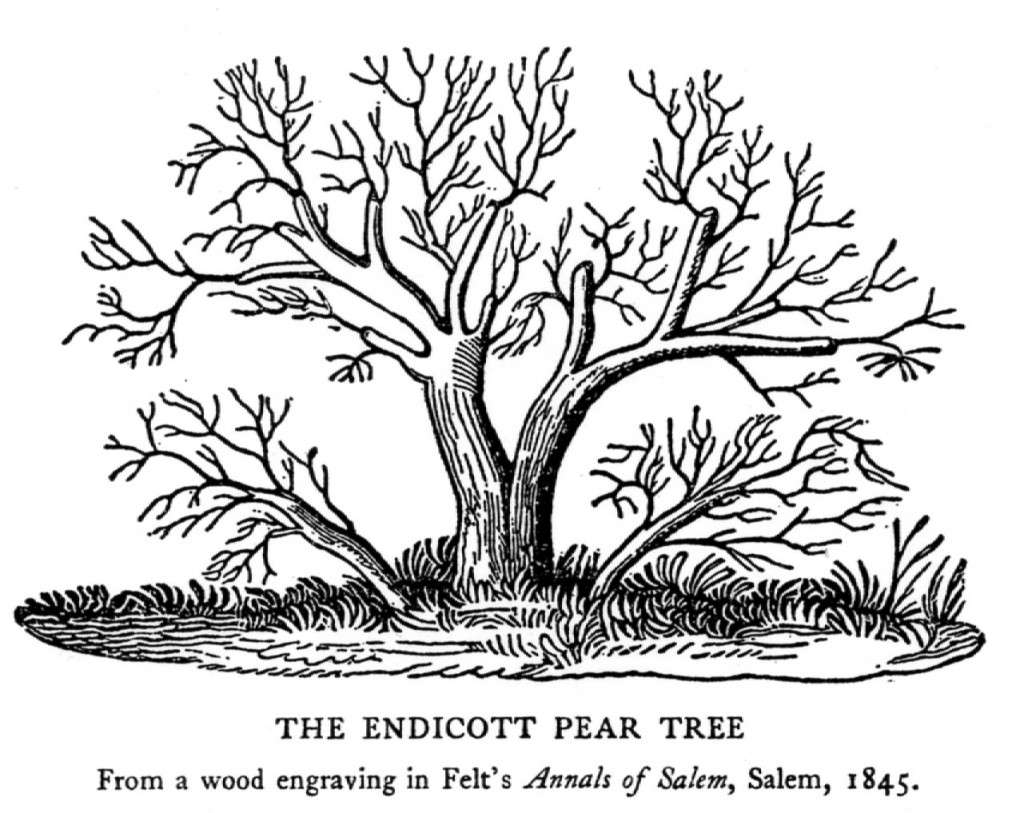 The Endicott Pear Tree