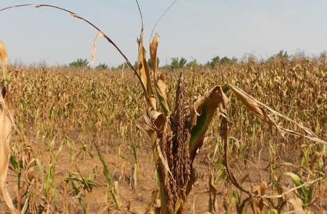 1965 drought corn