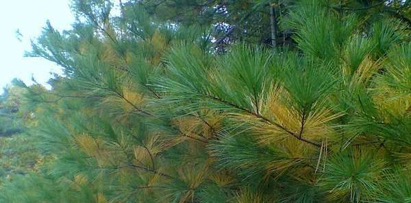White pine boughs in fall