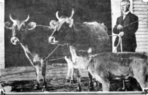 william dean with his oxen